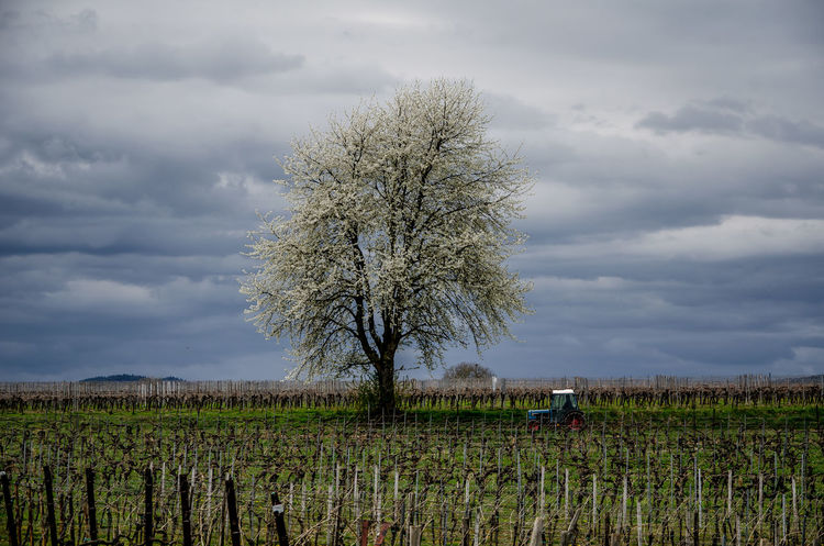 Spring Tree in the vineyard Agriculture Beauty In Nature Cloud - Sky Day Environment Field Growth Land Landscape Nature No People Outdoors Plant Plantation Rural Scene Scenics - Nature Sichtmanufaktur Sky Tranquil Scene Tranquility Tree Vineyard