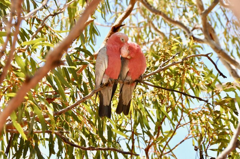 EyeEmNewHere Galah WesternAustralia Exmouth  Australia Care Love Pink Cockatoo Tree Branch Bird Low Angle View No People Animal Wildlife Perching Nature Parrot Animals In The Wild Outdoors Day Animal Themes EyeEmNewHere EyeEmNewHere EyeEm Ready