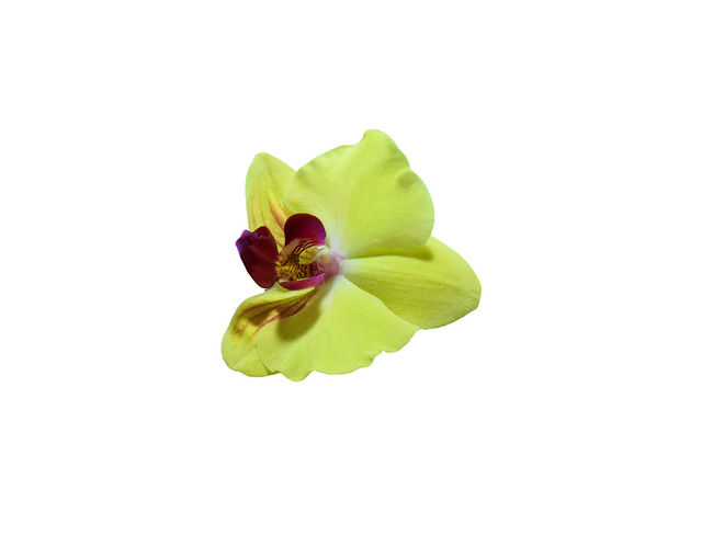 yellow orchid isolated on white background with clipping path. Orchid Yellow Flower Beauty In Nature Bird Blooming Clipping Path Close-up Copy Space Cute Day Flower Flower Head Freshness Green Color Growth Isolated White Background Leaf Nature Outdoors Periwinkle Petal Plant Studio Shot Vanda White Background