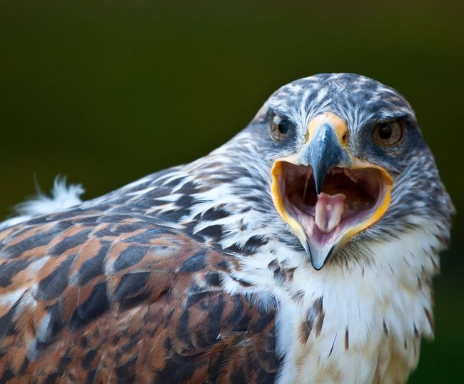 Close-up of red kite shouting
