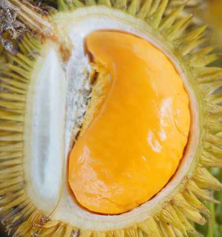 Orange colored jungle Durian native to Borneo called Durian Dalit Durian Sweet Food Healthy Eating Fruits Malaysia Durian Fruit Thailand Durian Season Fruits Market Fruits Stall Exotic Fruits Durio Spikey Orange Color Strong Smell Dalit Durian Tree Durianlovers Tropical Fruits Close-up Food And Drink Tropical Fruit