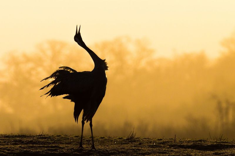 Silhouette bird on a field