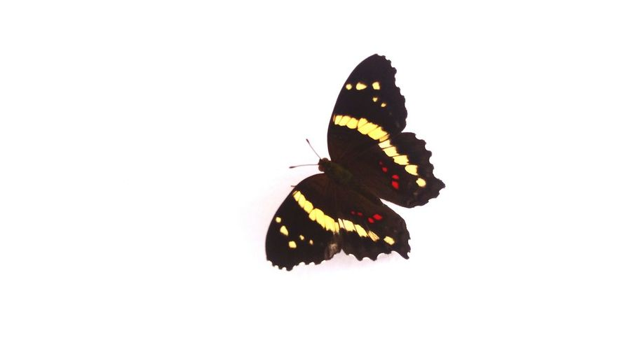 Close-up of butterfly on white background