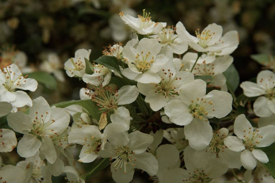 Malus Sargentii Flower Nature Growth Blossom Beauty In Nature Fragility No People Petal Plant Freshness Close-up Blooming Outdoors Flower Head Day Malus Sargentii Malus