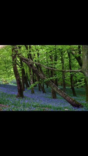 #Blues Bells Trees Forest Purple Green Springtime Wales #U.K. Wenallt Beautiful Photography Photographer Photooftheday Cardiff