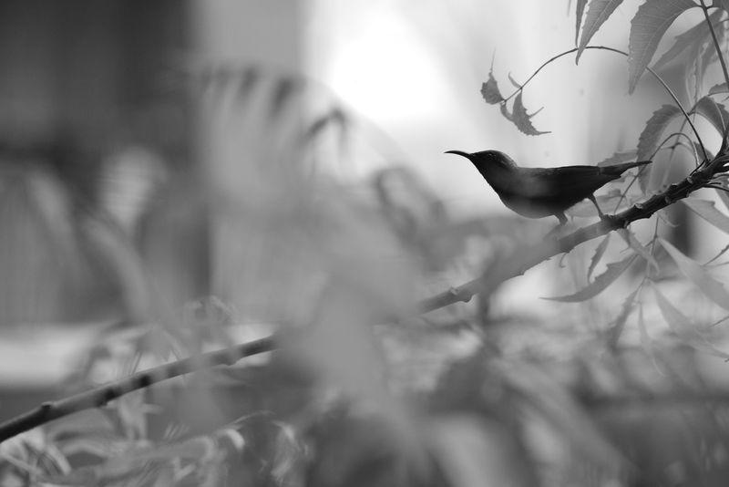 sunbird bw Blackandwhite Black & White Sunbird Neem Tree Neem Tiny Bird Purple