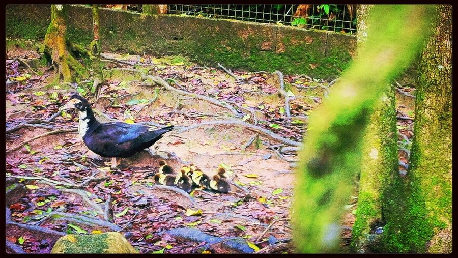 Duck anda little ducks, so cute! Animals Nature Ducks Taking Photos