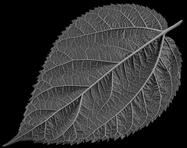 Eric Imbs Ericimbs Monochrome Black And White Light And Shadow Study Leaf Leaves Leaves_collection Blackandwhite Monochrome Photography Black Background
