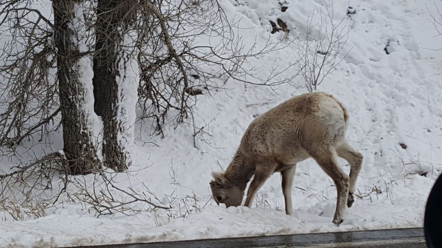 Licking salt off the road after the snow plows Nature, Winter, Animals,