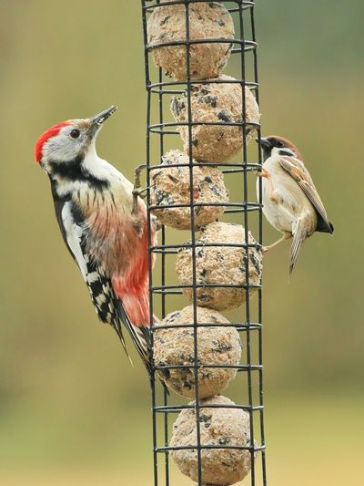 Woodpecker vs. Sperling Woodpecker Sperling Spatz Feldsperling Mittelspecht Vogel Meisenknödel Winterfütterung Birds Bird Photography Bird Feeding Feeding Animals Feeding The Birds Animals Animal Photography Fütterung  Michael Hruschka Wildlife & Nature Wildlife Photography Nature EyeEm Nature Lover EyeEm Animal Lover Wildbirds Birds_collection Birds Of EyeEm
