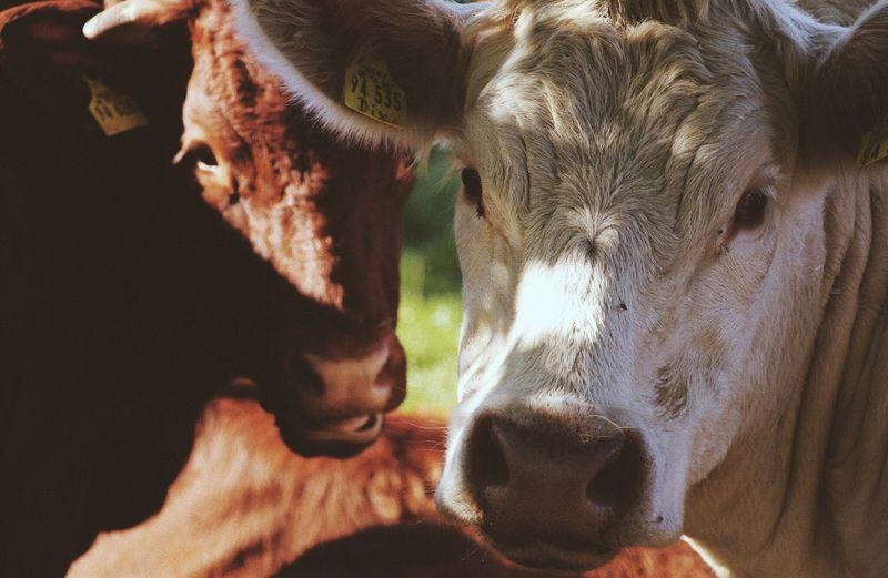Wildlife & Nature Cow Animal Wildlife Sunlight