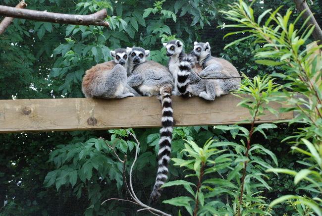 Animal Family Family Lemur Lemurs London Londonzoo No People Zoo Zoo Animals  ZOO-PHOTO ZooLife Zoophotography