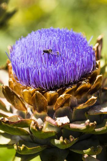 Bee on purple artichoke flower in vegetable garden