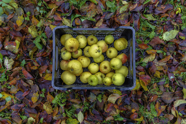 Picking Apples Picking Apples Apples Autumn Leaves Colors Directly Above Fruit Outdoors Large Group Of Objects Day Leaf Food High Angle View