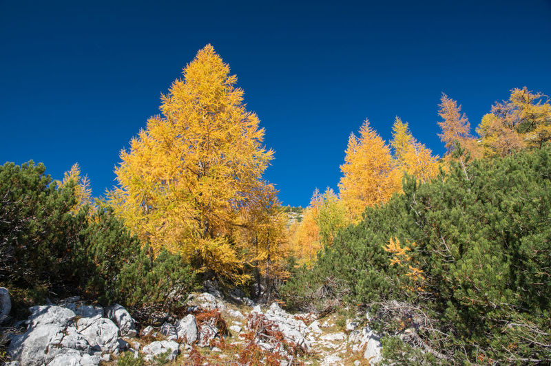 Autumn in Julian Alps in Slovenia Autumn Plant Tree Beauty In Nature Sky Change No People Nature Day Blue Tranquility Clear Sky Tranquil Scene Scenics - Nature Growth Orange Color Outdoors Land Non-urban Scene Solid Triglav National Park Slovenia Hike Yellow