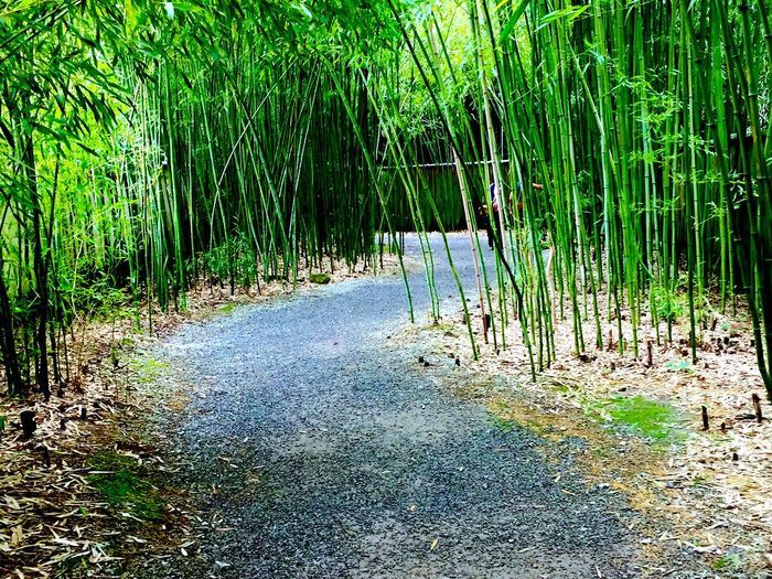 Bamboo Forest Bamboo Sticks Beautiful Gravel Path Nature Beautiful