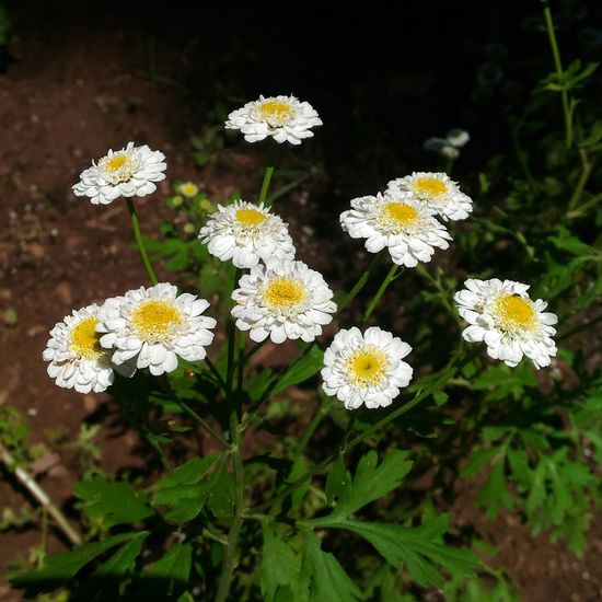Feverfew Flower Plant Nature Flower Head No People Beauty In Nature Botanical Garden Feverfew White Flowers Medicinal Plant Growth Summer Close-up Outdoors Natural Beauty Medicinal Herb Fever Few Herbs Floral Photography Floral Perfection Garden Flowers Garden Photography Herb Herbal