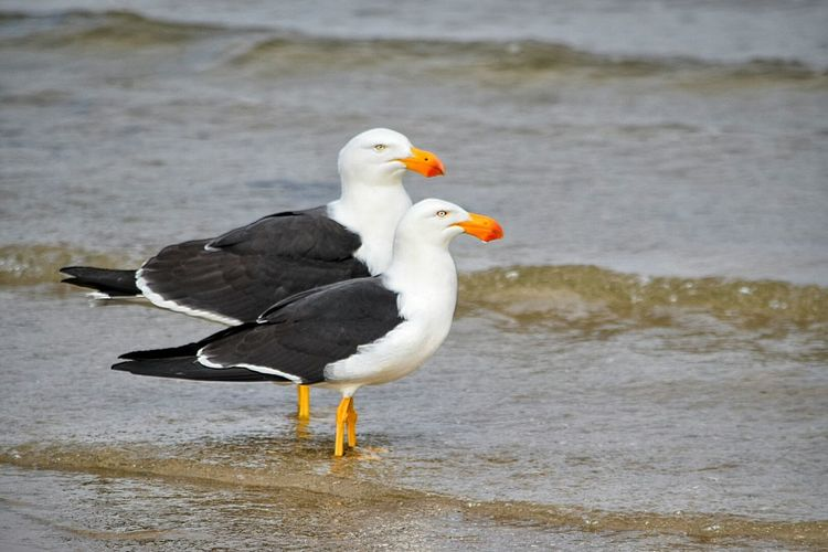 Pacific Gull Orange Nature Photography Wading Wading Bird In The Water Black White Feathered Ornithology  Ripples In The Water Nature Ripples Sea Water Feathers Beak Seabirds Seagull Bird Sea Bird Gulls Gull Two Is Better Than One