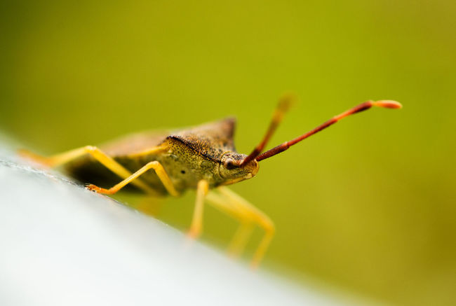 Animal Antenna Beauty In Nature Close-up Day Detail Extreme Close-up Focus On Foreground Fragility Green Color Growth Heteroptera Macro Nature No People Outdoors Plant Selective Focus Stem True Bug Twig Wanze