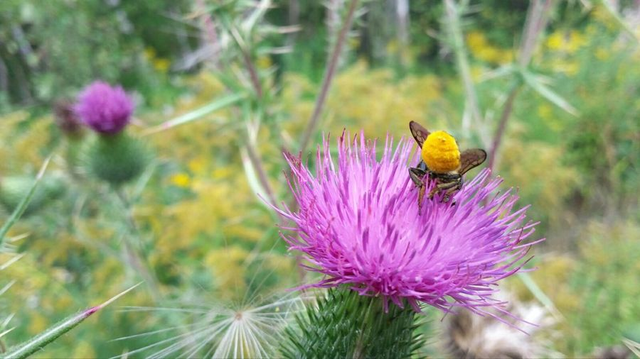 Nature On Your Doorstep Abugslife Bee Thistle ThingsWithWings
