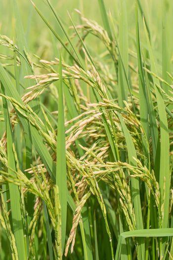 rice Growth