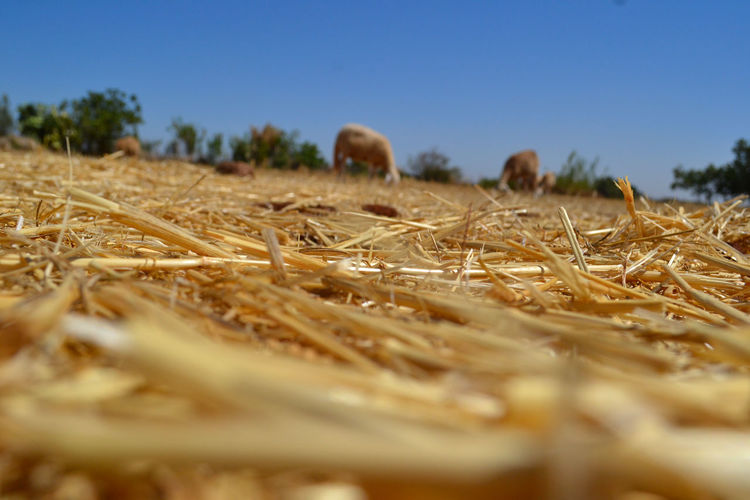 Agriculture Beautiful Beautiful Nature Clear Sky Field Hay Nature No People No Person Outdoors Sheep Sky Straw Summer Sun Yellew