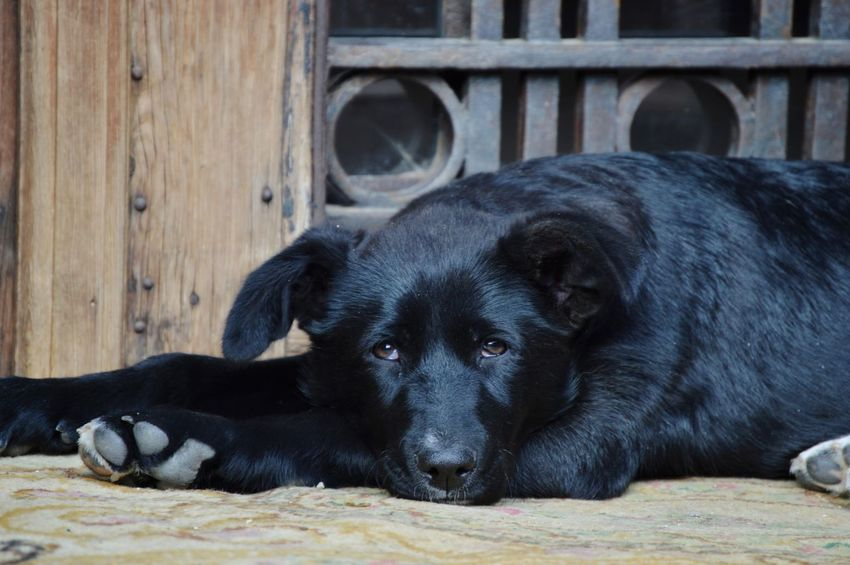 😍😍😍 Pets Dog Lying Down Black Color Puppy Close-up German Shepherd Labrador Retriever Black Labrador EyeEmNewHere