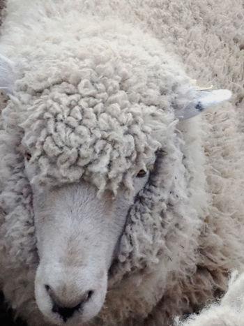 Animal Themes Close-up Domestic Animals Mammal No People One Animal Sheep Wool