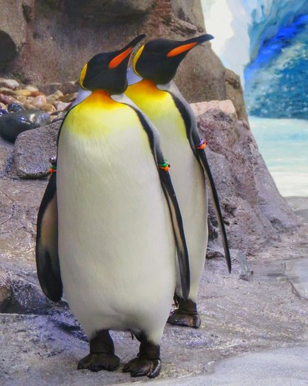 USA Penguin Bird Animal Themes Outdoors Day Only Men Close-up People