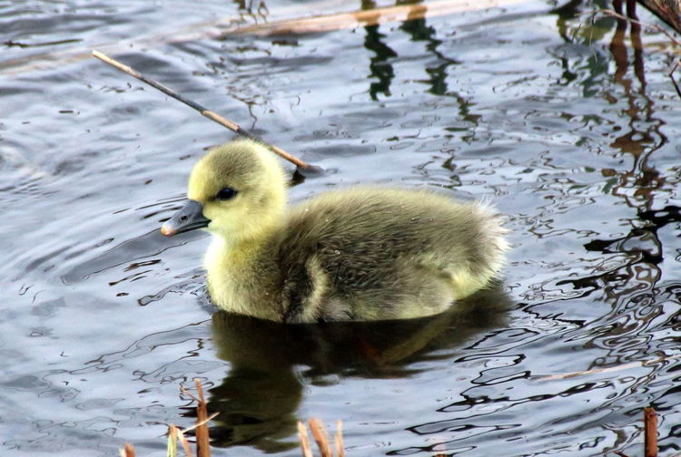Baby Goose Goose Taking Photos Check This Out Hello World Taking Photos Nature No People Water Bird Yellow