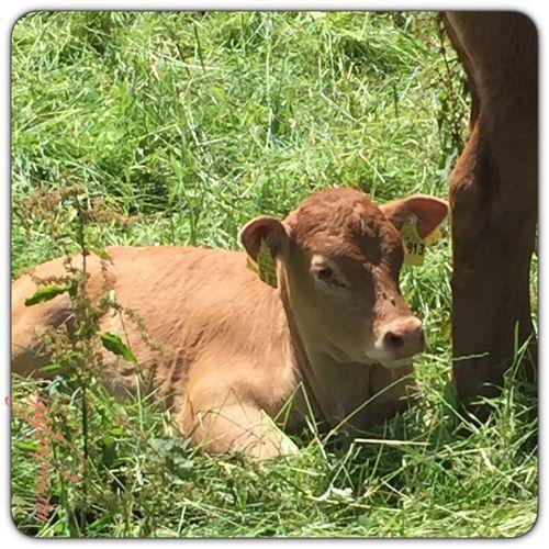 Es gibt wieder frische Kuhkinder. 💕💗 Monique52 Weide Kühe Kalb Süss Hochrhein WT-Land Schwarzwald
