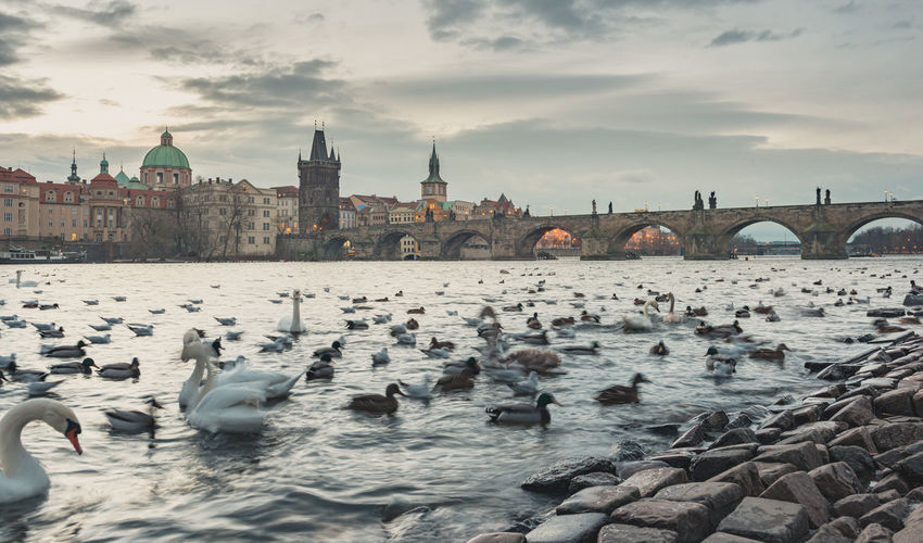 Flock of birds in a river