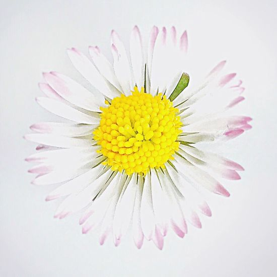 Daisy 2 Flower Yellow Petal Studio Shot Flower Head Fragility Freshness Beauty In Nature Close-up Pollen Nature No People Single Object White Background Pure Nature Daisy