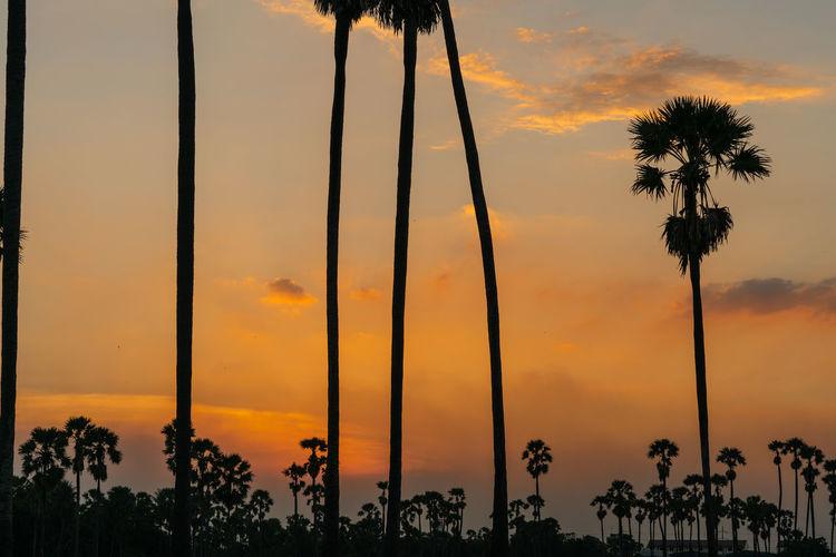 Sunset Sky Tree Palm Tree Orange Color Beauty In Nature Cloud - Sky No People