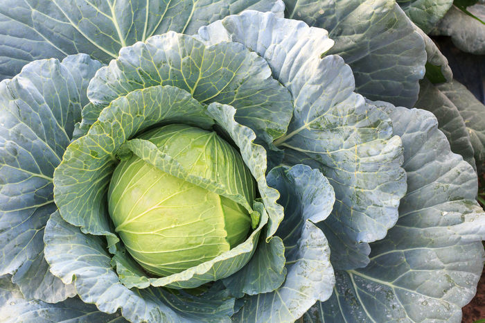 Fresh organic green big cabbage vegetables salad in farm for health, food and agriculture concept design. Agriculture Business Detox Diet Eating Food And Drink Freshness Green Market Salad Vegetables & Fruits Vegetarian Assortment Background Farming Food Fresh Fruits Garden Healthy Hydroponics Organic Plantation Vegetables Water