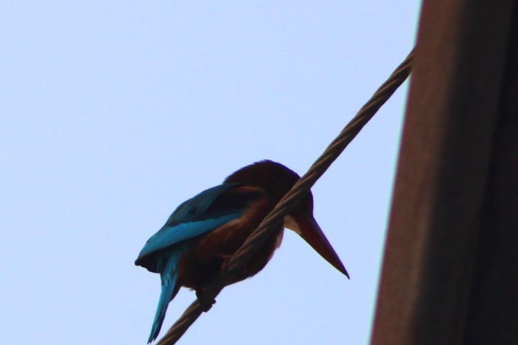 Kingfisher Vertebrate Bird Animal Themes Animal One Animal Sky Clear Sky Perching