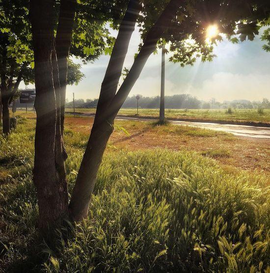 iPhone 7 Plus,BrainFeverMedia,Snapseed,Enlight Tree Plant Sunlight Nature Beauty In Nature Tree Trunk Sky Land Sun Sunset No People