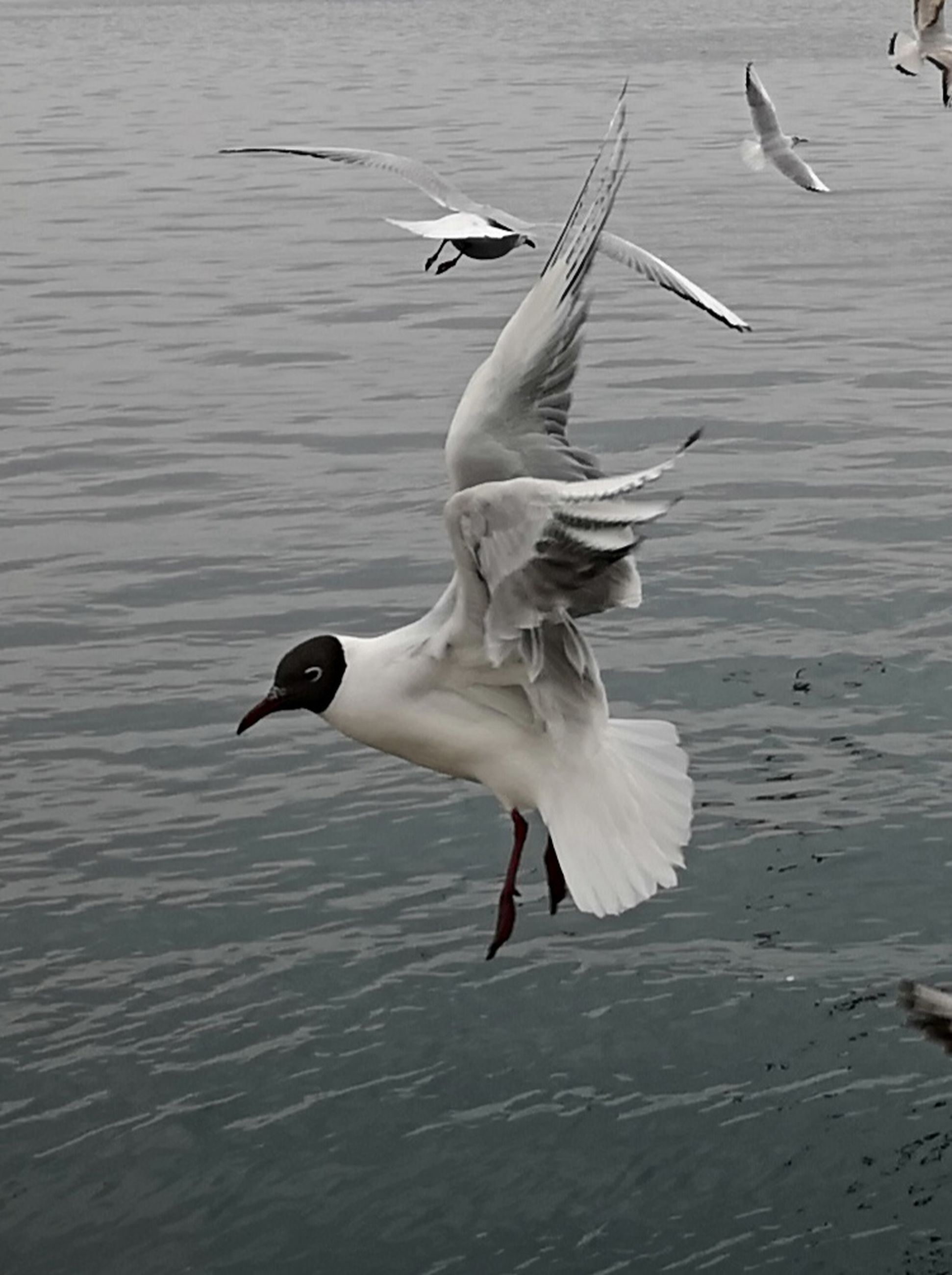 animals in the wild, animal wildlife, animal themes, bird, animal, vertebrate, flying, water, spread wings, group of animals, waterfront, seagull, nature, no people, water bird, lake, day, mid-air, flapping