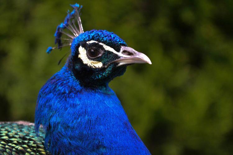 One Animal Blue