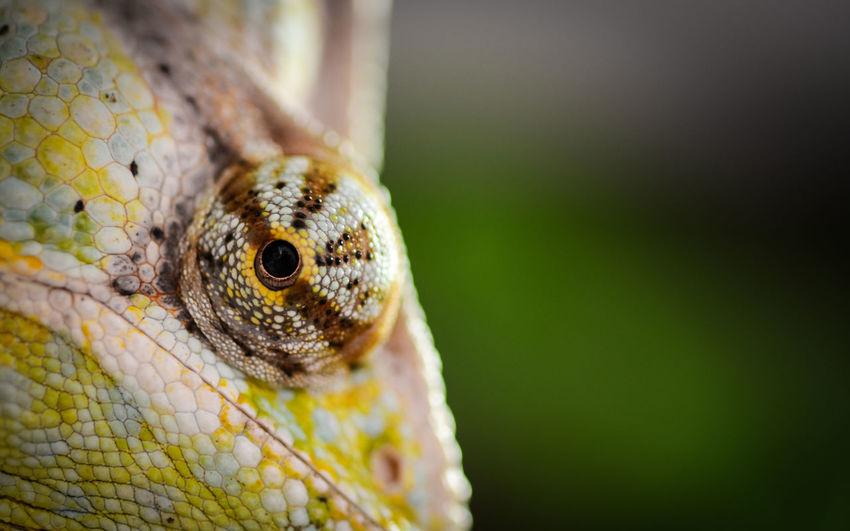 Cropped image of chameleon