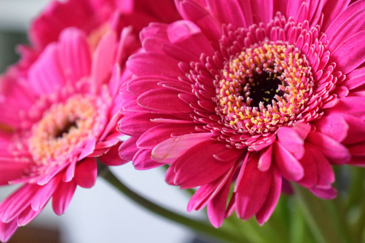 Springtime Beauty In Nature Bouquet Close-up Daisy Day Flower Flower Arrangement Flower Head Flowering Plant Focus On Foreground Fragility Freshness Gerbera Daisy Growth Inflorescence Nature No People Petal Pink Color Plant Pollen Springtime Vulnerability  Capture Tomorrow