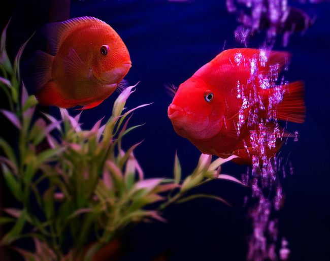 Fishie fish 🐠 EyeEmBestPics EyeEm Selects EyeEm Gallery EyeEmNewHere EyeEm Nature Lover EyeEm Best Shots EyeEm Fish Swimming Underwater Water Sea Life Animal Themes Animals In The Wild Nature No People Goldfish Red Close-up UnderSea Aquarium Indoors  Day