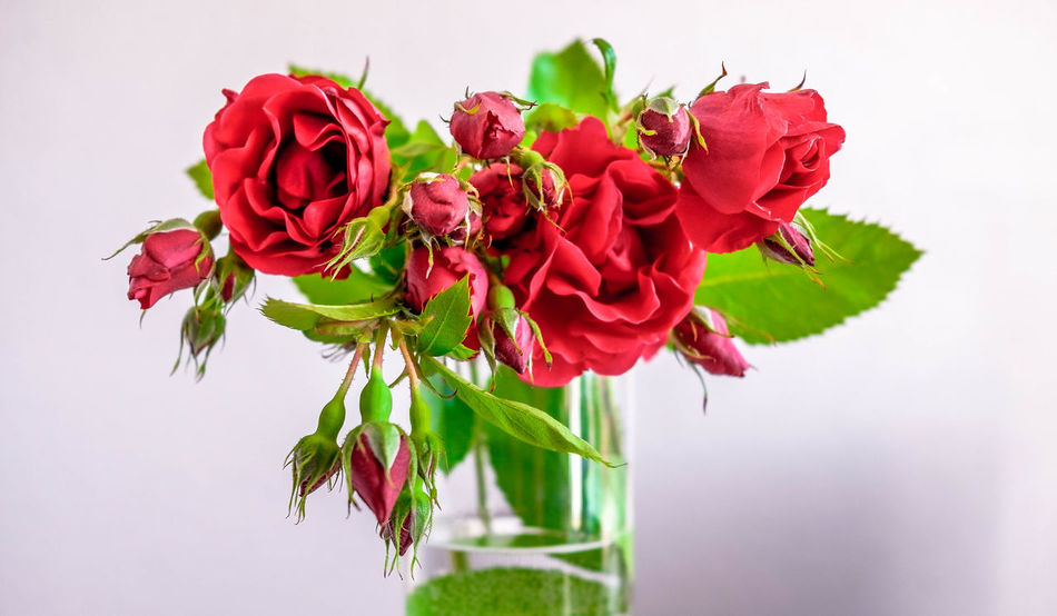 Flowerpower🌸 Flowers,Plants & Garden Love Red Blooming Bouquet Close-up Flower Flower Head Freshness Growth Leaf No People Plant Red Rose - Flower Roses White Background EyeEmNewHere