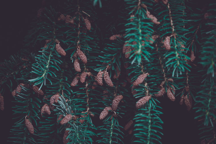 Backgrounds Beauty In Nature Branch Close-up Coniferous Tree Day Fir Tree Freshness Full Frame Green Color Growth Leaf Nature Needle - Plant Part No People Outdoors Pine Tree Plant Plant Part Selective Focus Tree
