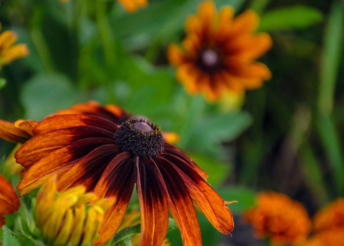 Close-Up Of Fresh Orange Gerbera Daisy Blooming Outdoors