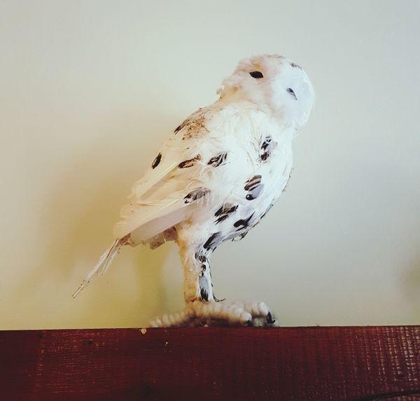 Owl Owl Photography Materie EyeEm Selects Bird Close-up