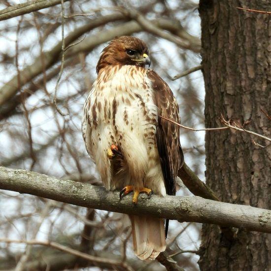Juvenile hawk. possible broad winged hawk or red shoulder hawk