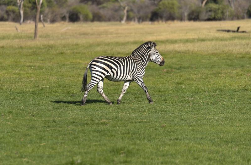 Zebra sitting on field