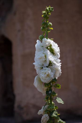 Alcea Rosea Plant Kashmir Flower White Srinagar Kashmir India Indien Canonphotography Canon EOS 5D MkII Kaschmir Jammu And Kashmir Mughal Garden Stockrose Alcea Rosea Pleniflora White Pari Mahal Flower Flowersofindia