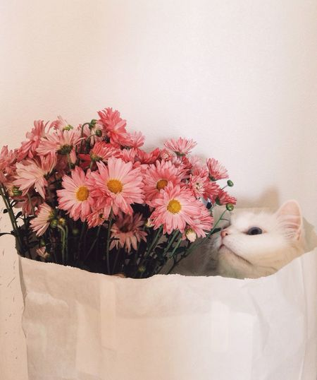 Flower Pink Color Fragility Petal Flower Head Nature Mammal Pets No People Indoors  Close-up Beauty In Nature Animal Themes Day